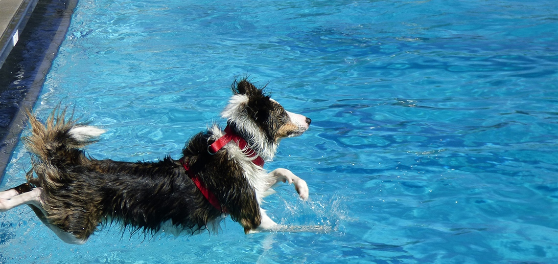 A dog jumps in the pool.