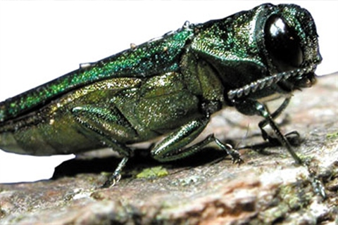 A close-up of an emerald ash borer.