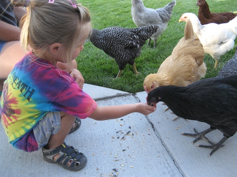 Young girl feed chickens in yard.JPG