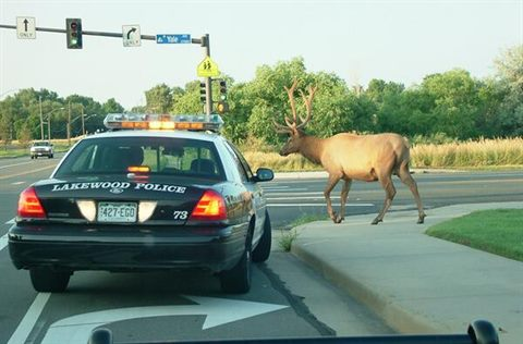 A police car making a right turn waiting for a elk to cross the road.