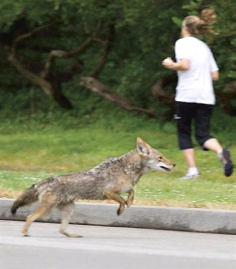 Wild coyote and a woman running.